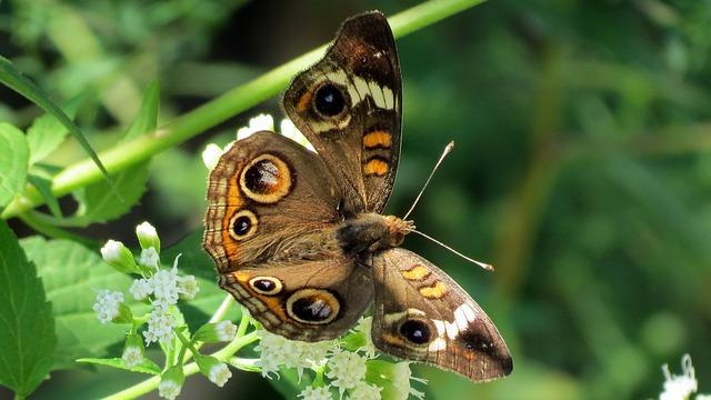 hnědý motýl
