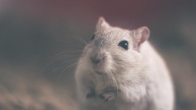 světlá myška